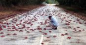 red-crab-migration-22